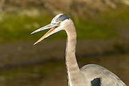 A great blue heron pauses from fishing