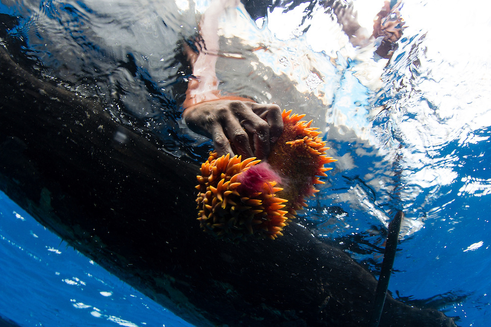 A traditional fisherman with sea cucumber harvested by free diving.  Even on the remote reefs west of the archipelagos along Madagascar's west coast there are no sea cucumbers left at shallow depths.  Illegal sea cucumber diving teams using scuba gear have exploited the deeper areas.  Migrant fishers must free dive to 18 – 24 m to find sea cucumbers, sometimes on the same reefs illegal scuba divers are exploiting.