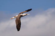 A blue-footed booby (Sula nebouxii) flying near the coast of Isabela Island, Galapagos Archipelago - Ecuador.