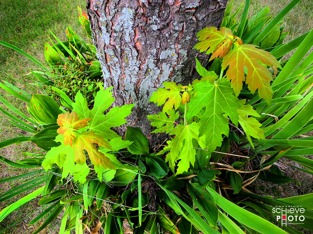 New shoots grow at the base of a Maple tree.