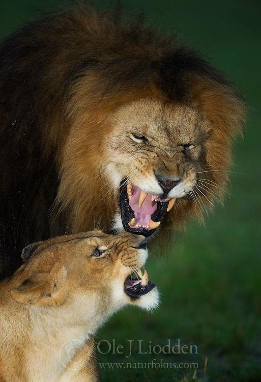 Wet Lion (Panthera leo) in Masai Mara, Kenya