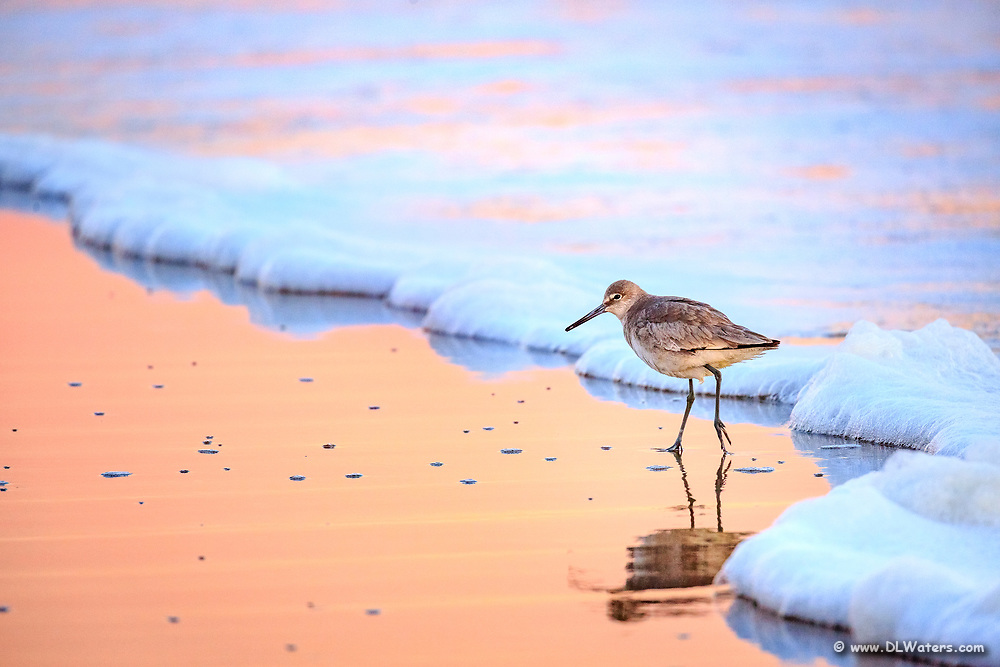 Willet wading at the surf zone in a peach reflection  on the Outer Banks of NC.