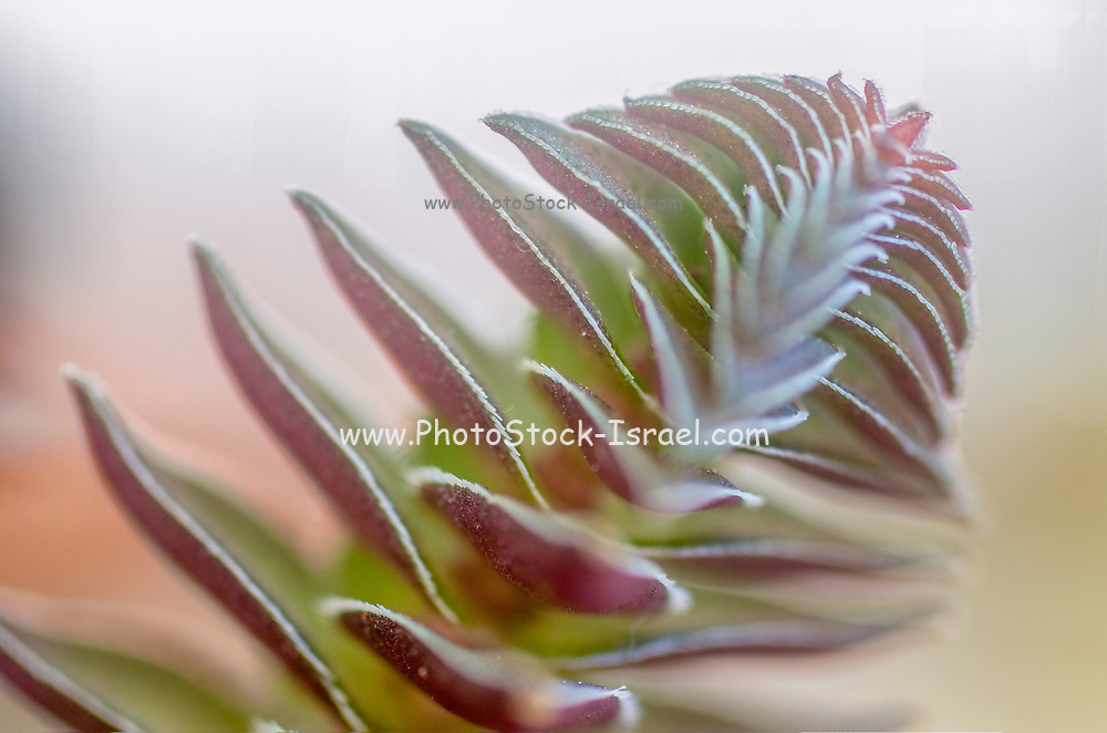 Compact form of Crassula capitella(Buddha's Temple) is a perennial succulent plant native to southern Africa. Side view Photographed in Israel in March