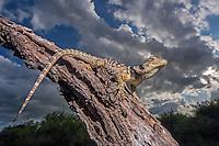 Blue Spiny Lizard, Sceloporus cyanogenys;<br /> Photographer:  Hector Astorga<br /> Property:  Santa Clara Ranch / Beto &amp; Clare Gutierrez<br /> Starr County