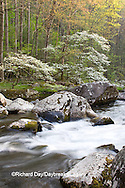 66745-04104 Dogwood trees in spring along Middle Prong Little River, Tremont area, Great Smoky Mountains National Park,TN