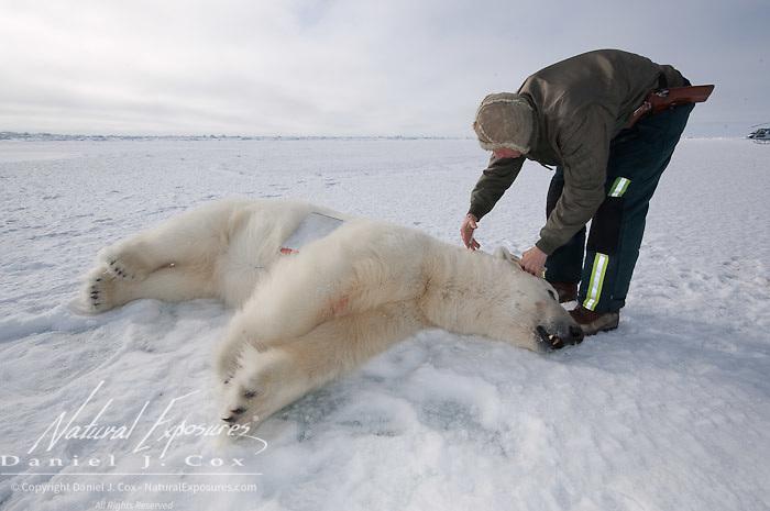 Steve Amstrup, lead biologist for the USGS, admisters additional telezol , an immobilizing drug to a large male polar bear (Ursus maritimus). Kaktovik, Alaska.