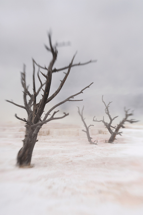 Dead Trees - Mammoth Terrace Hot Springs - Yellowstone National Park - Lensbaby
