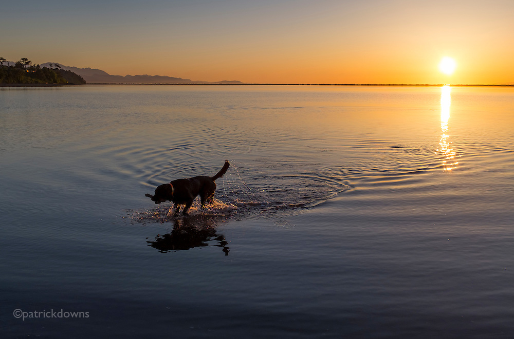 Bringing back the stick, in Dungeness lagoon on a warm, perfect summerlike spring evening.