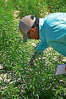 Bertie County extension agent Jarrett Hurry gets a closer look at hemp plants in a Broadway Hemp field during a tour.
