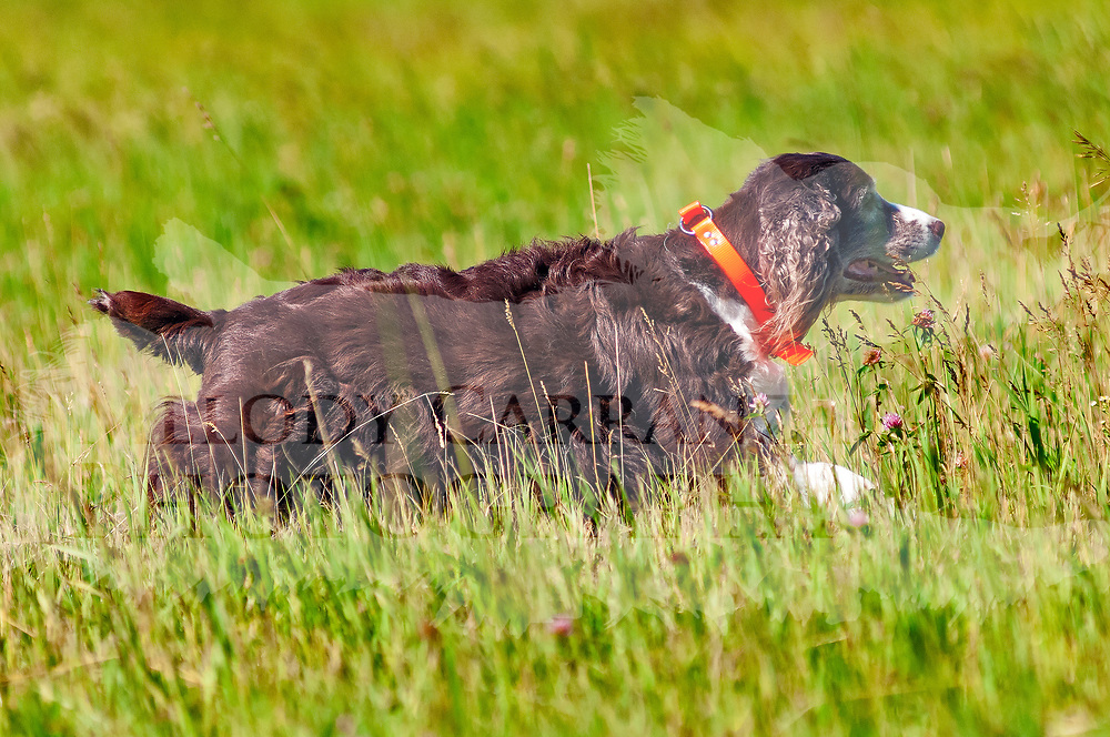 The 2017 WESSA Working Dog | Working Dog Excellent event took place at Bong Recreation Area, in Burlington, WI. Photography was made June 18, 2017.  The weather was beautiful, with a nice wind, temperature was in the low 70's. A perfect day for working dogs!