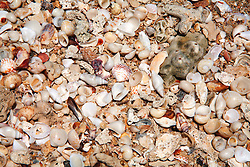 Shells from a beach in Camden Sound on the Kimberley coast.