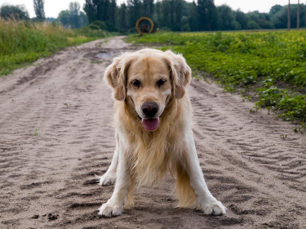 Golden Retriever Lemmy in einem Feld. Der Golden Retriever ist ein intelligenter, freudig arbeitender Hund, dem auch extreme, nasskalte Witterungsbedingungen nichts ausmachen. Dem steht allerdings eine relativ starke Empfindlichkeit hinsichtlich hoher Temperaturen gegen&uuml;ber. Grunds&auml;tzlich ist die Rasse ruhig, geduldig, aufmerksam und niemals aggressiv. <br /> <br /> Golden Retriever Lemmy during a walk in a field.