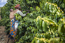 July 17, 2016 - Lusaka, Zambia - A woman picks ripe cherries of coffee at the plantation of Mubuyu Farm, Zambia. This method of harvesting by hands called 'selective picking'. More than 80 pickers are seasonal workers from the nearest village. They work from April to September, during the dry season. One worker can pick 100 kilograms of cherries per day..Mubuyu farm is the largest producer of coffee in Zambia and the only private one. It belongs to Willem Lublinkhof who came to the country 45 years ago with the Dutch development service. Because coffee products are not very popular among Zambians, the bulk of it goes for export. There are 65 hectares of land under the coffee plantation today instead of 300 hectares in 2009. The manager of the coffee production Monday Chilanga says that the main reason of the reducing is very low prices for coffee. (Credit Image: © Oleksandr Rupeta/NurPhoto via ZUMA Press)