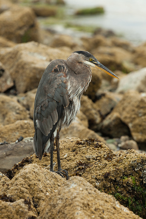 Great Blue Heron (ardea herodias) near Post Point, Bellingham, Washington