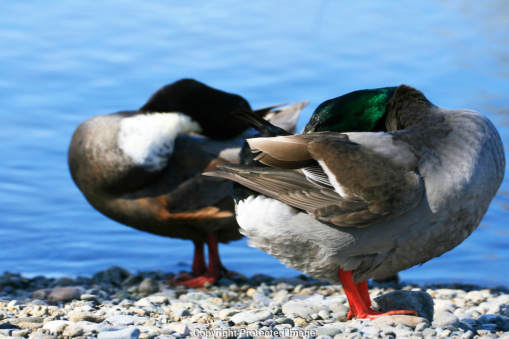 Mallard and Ruddy Duck hiding their heads.