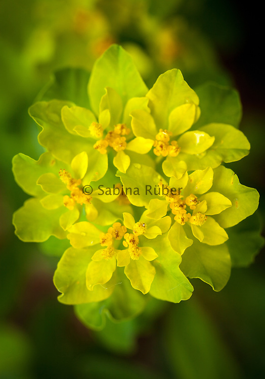 Euphorbia epithymoides - cushion spurge