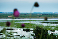 Danube Delta landscape with musk thistle or nodding thistle (Carduus nutans) in the foreground, close to Somova village, upper Danube Delta, Romania.