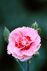 Dianthus 'Doris' - Carnation, Pink