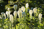 Beargrass bloom with backlighting in the Whitefish Range near Whitefish Montana