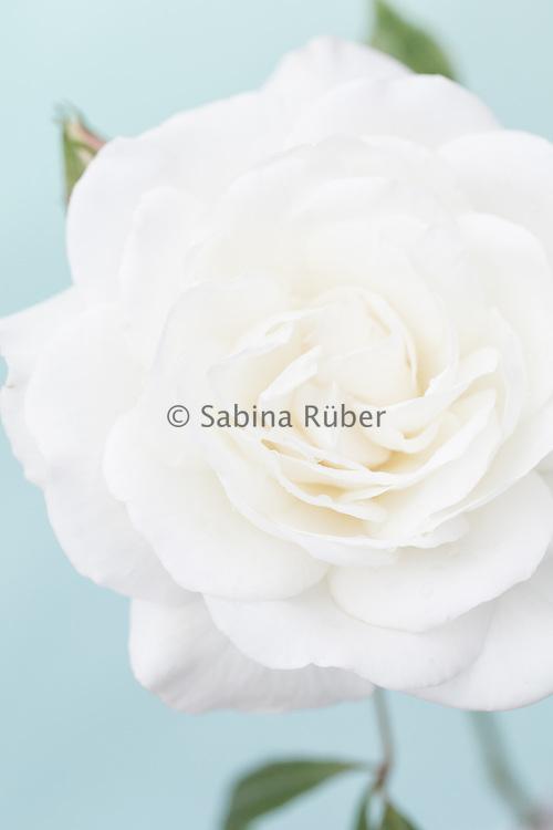 Rosa 'Iceberg' - floribunda