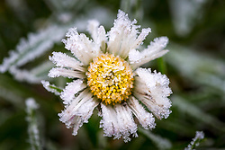 © Licensed to London News Pictures. 31/01/2019. Leeds UK. A daisy is covered in frost this morning at Temple Newsam walled garden in Leeds after the coldest night of the year. Photo credit: Andrew McCaren/LNP