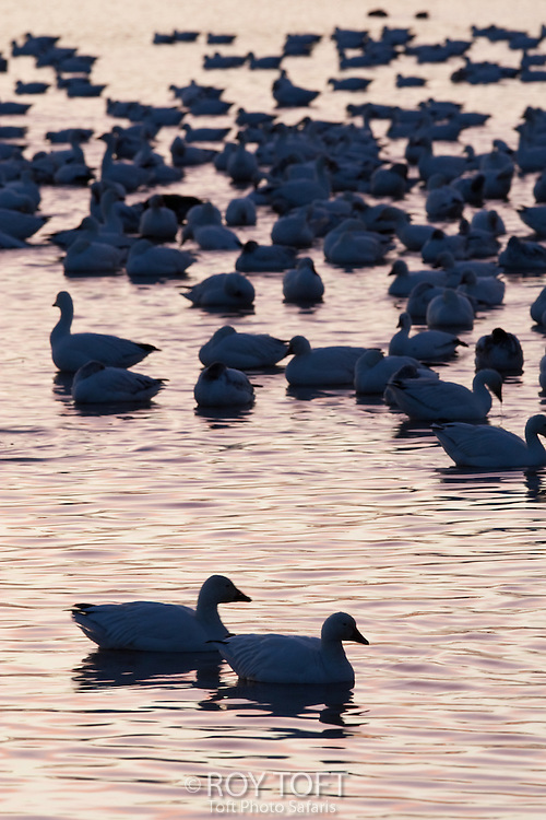 Snow geese at the Bosque del Apache National Wildlife Refuge.
