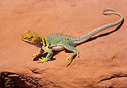 350101-1102 ~ Copyright: George H. H. Huey ~ Collared lizard [Crotaphytus collaris]. Common in the high desert Southwest.