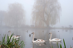 ©Licensed to London News Pictures 30/11/2019.<br /> Sidcup,UK. Swans on the river Cray. People out and about in the freezing foggy conditions at Footscray Meadows in Sidcup, South East London this morning. Photo credit: Grant Falvey/LNP