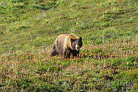 This stocky female black bear was photographed above Spray Falls above Mount Rainier's Lake Mowich on one of the final days of summer. Although she had two large cubs with her, she was so preoccupied with the wild blueberries she was gorging on that she didn't seem to mind me nearby. I had a hard time figuring out if she was a grizzly, mainly because of the large shoulder hump, but the size of the ears and flat facial profile prove that she is the common black bear (yes - they are often brown!) and is probably better described as the subspecies known as a cinnamon bear (Ursus americanus cinnamomum) found in the Pacific Northwest.