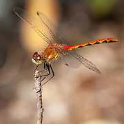 Macro photograph of a White-faced Meadowhawk Dragonfly.  Photograph taken in the forests of the Kawarthas region of Ontario.  This insect was quite accommodating toward the camera, staying close by and often landing upon the same spot when accidentally spooked by my movements.  He liked my camera so much that we ended the photo shoot when he alighted upon the end of my lens hood as if to taunt me, before flying off.