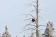 Bald eagle in Yellowstone National Park