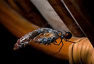 Black Widow (Latrodectus hesperus)  with prey (Giant Desert Centipede, Scolopendra heros); Sonoran Desert, Arizona