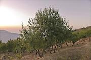 Castelbuono,  frassineto dell'azienda Gelardi.<br /> Castelbuono: wood ash in Gelardi's farm.
