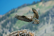 Osprey Grand Teton National Park