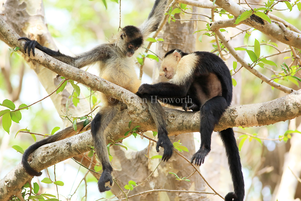 White-faced Capuchin Monkey (Cebus capucinus) grooming a Central American Spider Monkey (Ateles geoffroyi). Santa Rosa National Park, Guanacaste, Costa Rica. May 2017.