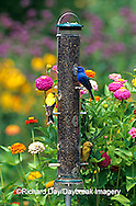 00585-02601 Indigo Bunting (Passerina cyanea) & American Goldfinches (Carduelis tristis) on nyjer feeder Marion Co. IL