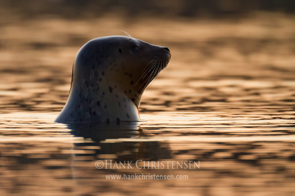 A harbor seal pops its head above water as the sun sets behind it, Redwood Shores, San Francisco Bay