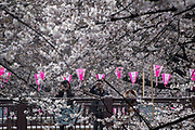 People take pictures of cherry blossoms in full bloom at Nakameguro in Tokyo on April 3rd. The cherry blossom season in Japan kicks off boozy parties across the country and draws tourists from far and wide. 03/04/2017-Tokyo, JAPAN