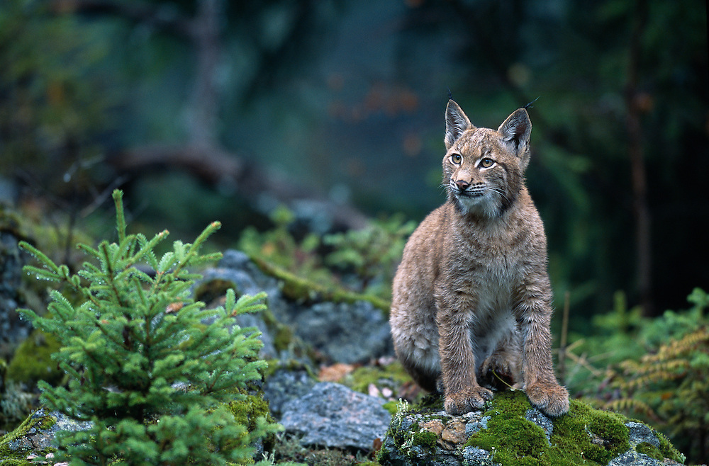 Young European lynx sitting on rocks at the edge of a spruce forest