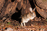 Eastern Cottontail (Sylvilagus floridanus)<br /> United States: Alabama: Tuscaloosa Co.<br /> Tulip Tree Springs off Echola Rd.; Elrod<br /> 26-Jan-2017<br /> J.C. Abbott &amp; K.K. Abbott<br /> captured with trap camera