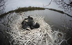 Inland Cormorants