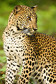 Sri Lankan - Leopards