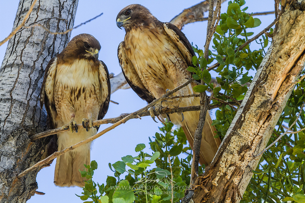 Red-tailed Hawk pair, Morongo Canyon