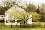White rustic barn with spring blooming tree