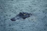 Vereinigte Staaten von Amerika, USA, Florida: amerikanischer Mississippi-Alligator (Alligator mississippiensis) im Wasser bei Regen. Nur der Kopf guckt heraus. | United States of America, USA, Florida: American Alligator, Alligator mississippiensis, in water during rain, just the head looks out of the water. |