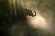 A young  elephant pauses in the dust created by the herd dashing to the refreshing waters of the Chobe River, Botswana