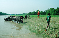 Near Barisal in the Bay of Bengal two boys are herding their family's cattle next to a tidal canal. The region is interlaced with canals and streams. This river delta system is always in danger of flooding. Millions of people live in poverty and in fear of losing everything in the next flood.