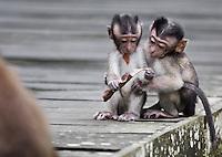 Baby Long-tailed Macaques, Macaca fascicularis (Crab-eating Macaque), Bako National Park, Sarawak, Malaysia