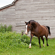 Bay Arabian horse with white blaze in green pasture outside barn