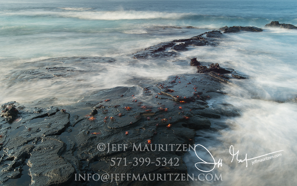 Sally lightfoot crabs cling to the volcanic coastline of Santiago island, Galapagos islands, Ecuador.